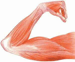 Human Muscle Clipart 20 Free Cliparts