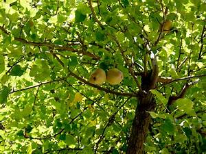 Images Of Pear Trees www imgkid com - The Image Kid Has It!