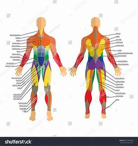 Detailed Illustration Human Muscles Exercise Muscle Stock