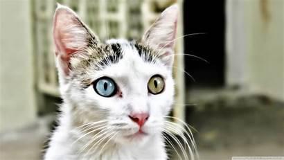 Kitty Bipolar Cat Heterochromia Eyes Various Wallpoper