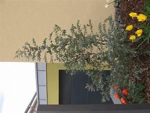 Tomaten Düngen Hausmittel : eukalyptus winterhart eukalyptus winterhart ebay rboles de colores y jard n japones taringa ~ Whattoseeinmadrid.com Haus und Dekorationen