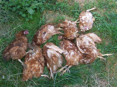 que mange une fouine quel animal egorge les poules