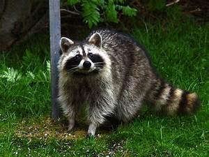 Macphail Woods: Raccoon