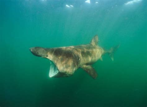 shark sharks sea basking deep goliath grouper greenland giant species down maximus cetorhinus ocean animals whale soposted could footage provide
