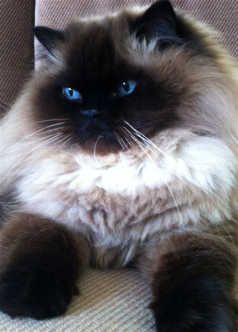 45+ Beautiful Himalayan Cat Photos Golfiancom