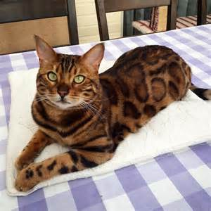 cat that looks like a tiger bengal cat named thor looks like a cross between a leopard