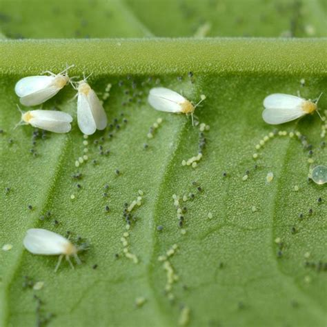 How To Control Whiteflies  Planet Natural
