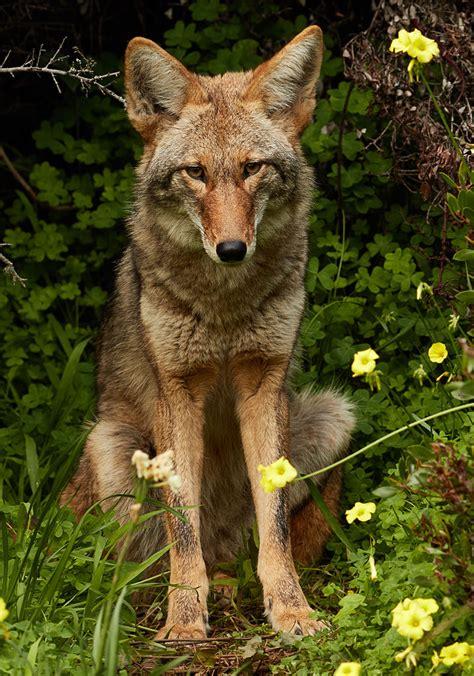 fileurban coyote bernal heightsjpg wikimedia commons
