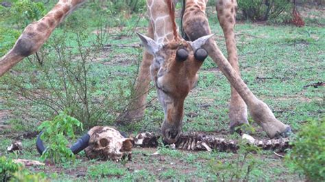 Giraffes Seen Feasting On Skeleton—here's Why