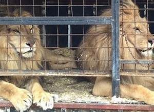 Borne Free Lyon : born free in fundraising appeal to relocate bulgaria s last two circus lions to south africa ~ Medecine-chirurgie-esthetiques.com Avis de Voitures