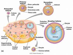 Structure Of Ovary In Female Labeled Structure Of Ovary