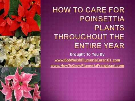 how do you care for bushes how to care for poinsettia plants throughout the entire year