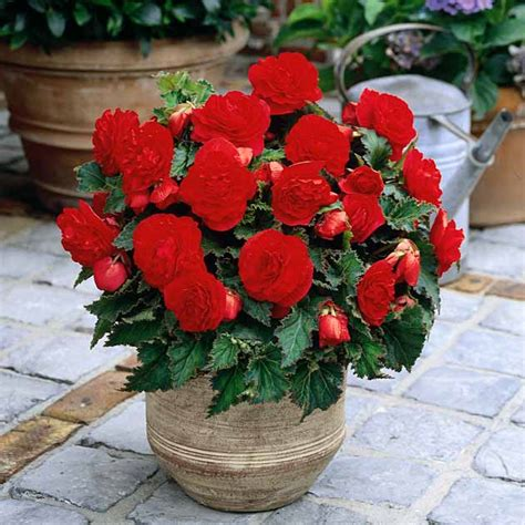 tuberous begonia nonstop patio bedding basket jumbo plants flower pots