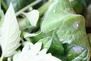 Basilikum Weiße Fliege : fliegen an tomaten was tun gegen kleine schwarze und ~ Articles-book.com Haus und Dekorationen