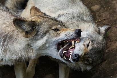 Wolf Wolves Animals Pack Angry Roar Animal