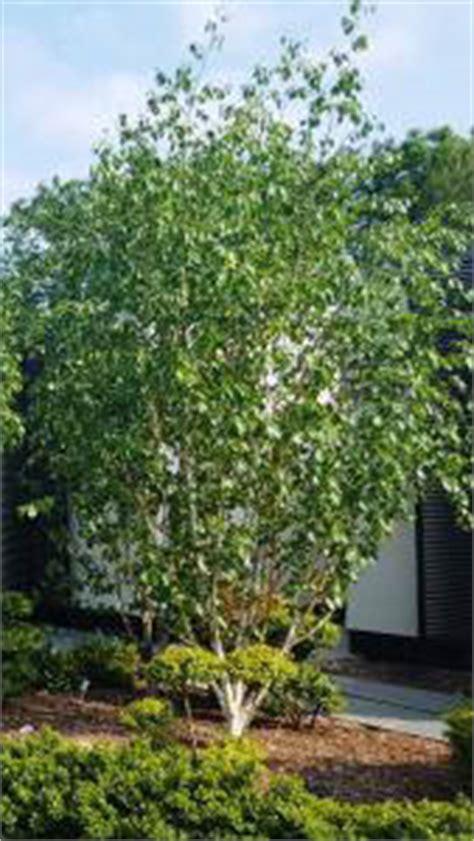 betula jacquemontii multi stem white stemmed birch trees uk