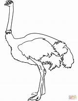 Coloring Ostrich Pages Drawing Printable Paper sketch template