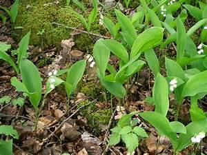 Quand Planter Le Muguet : muguet fleur ~ Melissatoandfro.com Idées de Décoration