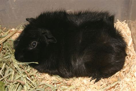 types  guinea pigs    pet orb