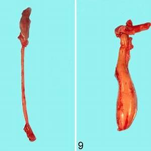 Diagram Of Megaesophagus : esophagus rat normal thoracic esophagus showing the ~ A.2002-acura-tl-radio.info Haus und Dekorationen