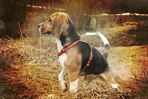 The beagle personality—what to watch for
