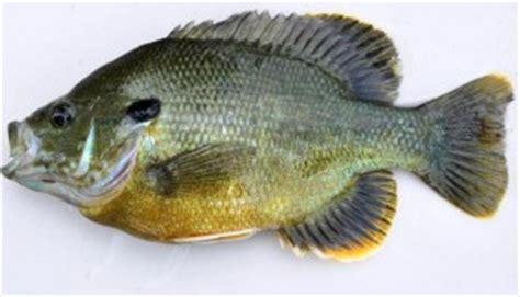 hybrid sunfish texas  agrilife extension aquaculture