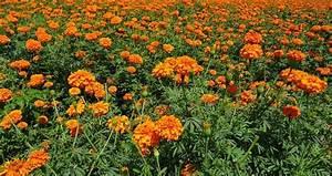 Marigold Farming Information Detailed Guide Agri Farming