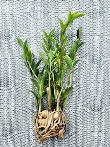 Pflanzen Die Wenig Licht Brauchen Heißen : 5 zimmerpflanzen f r dunkle r ume pflanzenfreude ~ Lizthompson.info Haus und Dekorationen