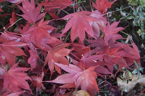japanese maple leaf spots japanese maple white spots on leaves bing images