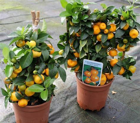 pohon jeruk 18 tanaman buah yang bisa ditanam di pot kecil