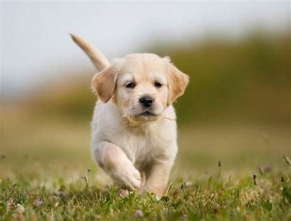 Dog Pompeo Mike Sherman Puppy Golden