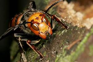 Asian Hornets Are Heading To The Uk Warn Experts Having Killed In France