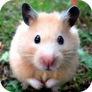 Amazon.com: Cute Hamster: Appstore for Android