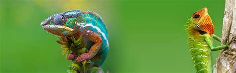 wallpapers   chameleons reptile
