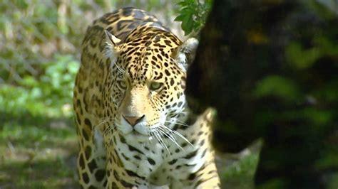 Jaguar - YouTube