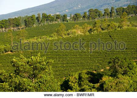 Shop commercial espresso machines for your location. Arabica coffee plantations near Poas volcano. Central Valley. Costa Stock Photo, Royalty Free ...