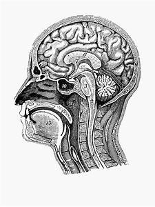 U0026quot Anatomical Brain Drawing U0026quot  T