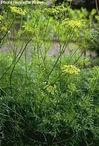 Chinese Asafetida | Herbs BF1