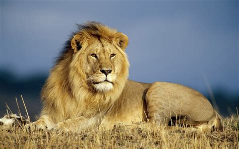 Hd Animal Wallpapers - hd lions wallpapers and photos hd animals wallpapers