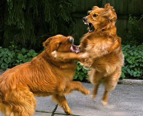 210 Best Images About Funny Goldens On Pinterest