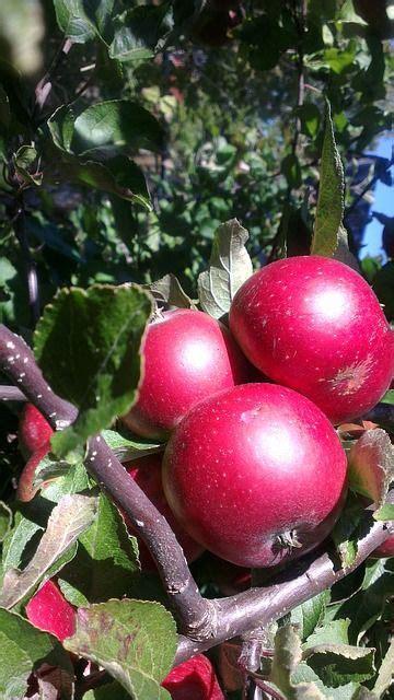 Enterprise Apple Tree Semi-Dwarf Zones 4-7 | Apple tree ...