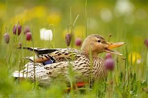 Mrs Duck And The Chess Flowers By Thrumyeye On DeviantArt