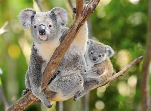 Australian Koala jigsaw puzzle in Animals puzzles on ...