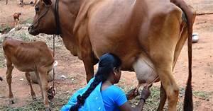 Ngo News Blog  Newsline   U201ca Homestead Dairy Cow Provides