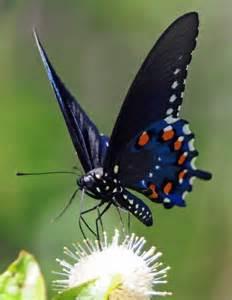 Blue Pipevine Swallowtail Butterflies