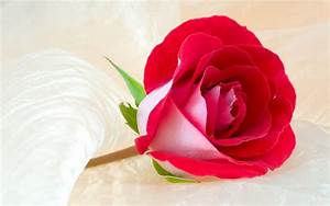 Wallpaper Gallery: Rose Flower Wallpaper -1