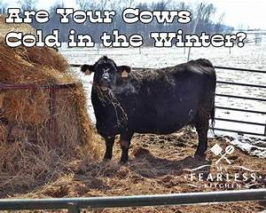 Are Your Cows Cold in the Winter? - My Fearless Kitchen