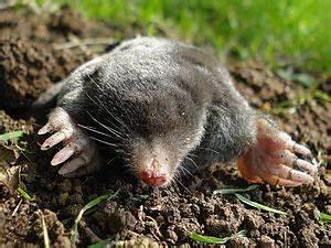 Tiere Unter Der Erde : europ ischer maulwurf wikipedia ~ Frokenaadalensverden.com Haus und Dekorationen