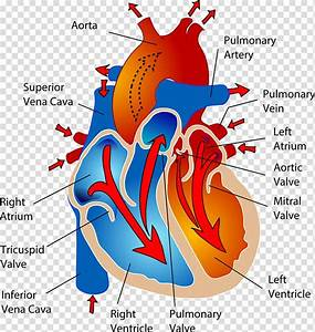 The Cardiovascular System Circulatory System Heart Human