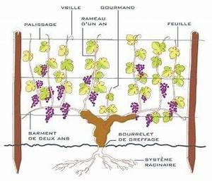 Achat Pied De Vigne Raisin De Table : chapitre 5 vocabulaire de la vigne et du vin service restau 41 fle vigne vin et vin ~ Nature-et-papiers.com Idées de Décoration